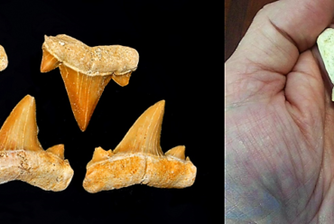 "Fossilized teeth of Cretolamna measuring .75 inches. Compare to a pristine 3.5"" Otodus tooth. Note the similarity to the smaller Cretolamna teeth. Left image credit: By Hectonichus - Own work, CC BY-SA 3.0, https://commons.wikimedia.org/w/index.php?curid=40244563 Right image credit: Max Hawthorne. From the author's private collection."